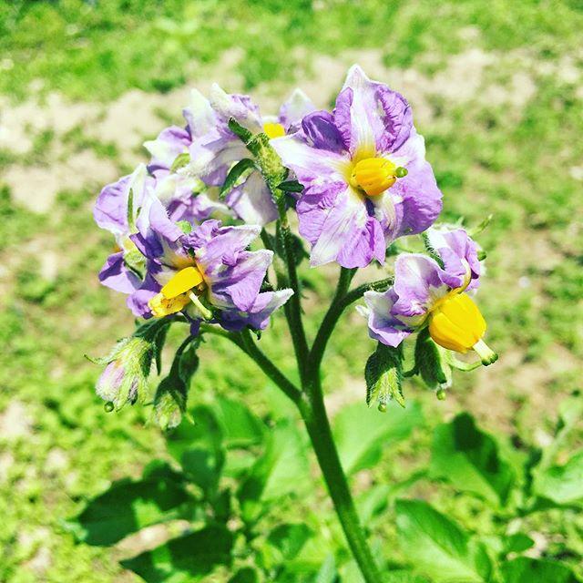 #田舎 #ジャガイモの花 #畑 #田舎暮らし