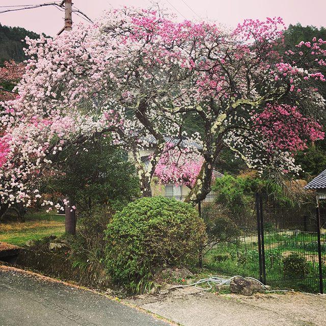 一本の木です。紅白桜、お見事です。#田舎#桜#田舎暮らし#花